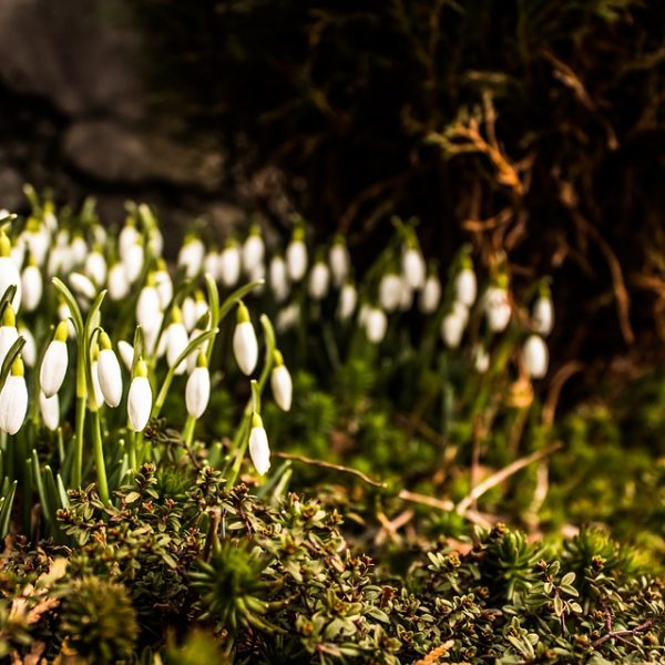 Plants Nature Moss Spring Flower Green Snowdrops